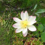 蓮の花一輪咲きました。
