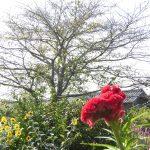 アメリカンシロシトリに食害された桜くん