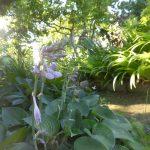 ギボシの花一番