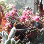 窓辺の果肉植物にも花が咲きました。