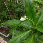 やぶミョウガの花