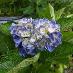 まだまだ紫陽花