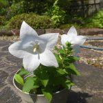 白い花の桔梗