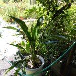 ゴクラクチョウカ観葉植物を株分けしたところ大変よく育ってきました。