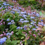 庭のブルー