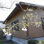 我が家の桜も終わりか。