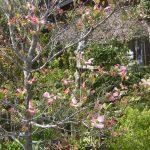 すでに藤の花も咲き出しましたハナミズキも開いてきました。