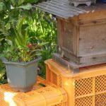 我が家にミツバチがやって来ました。今年は縁起がよいぞ。